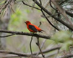 piranga écarlate mâle/male scarlet tanager