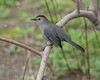 moqueur chat/gray catbird