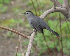 moqueur chat/gray catbird