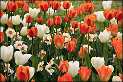 Tulips and Narcissus/Daffodils in the park