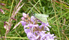 Beetle on Fragrant Orchid