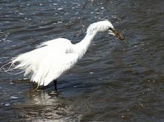 grande aigrette/great egret