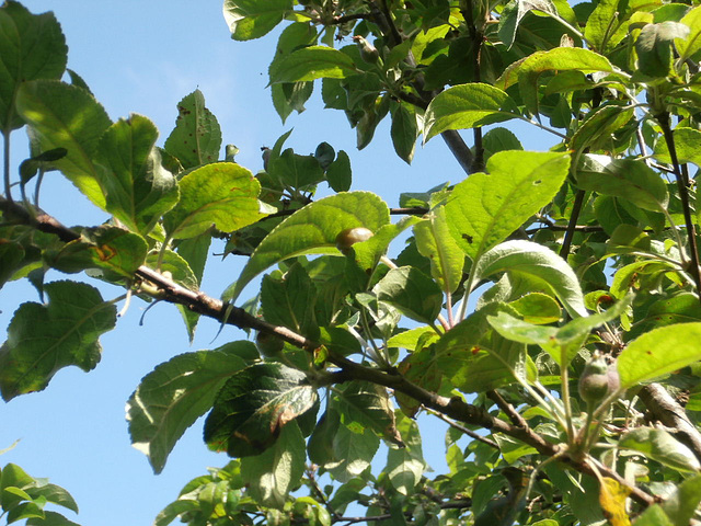New apples are starting to form