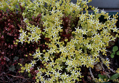 Sedum acre album (2)