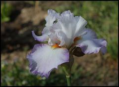 Iris Astrid C