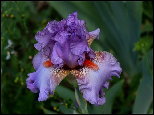 Iris Glory Bound