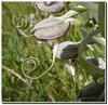 Himantoglossum hircinum - bouton.