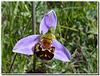 Ophrys apifera - détail.