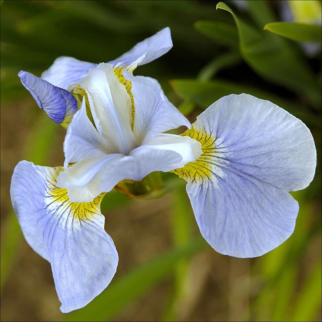 Iris 15