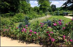 Massif avec Ceanothes et Roses 'Minerva '