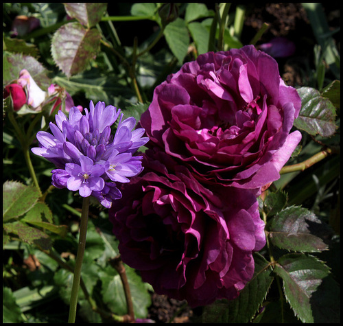 Rose Minerva et Dichelostemma
