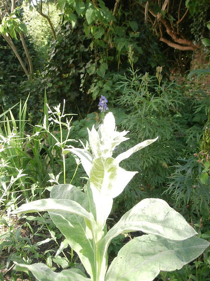 Lovely big flower about to emerge but I don't  know what it is......