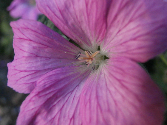 The common mallow