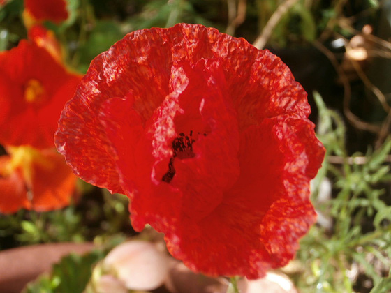 The new little red poppy