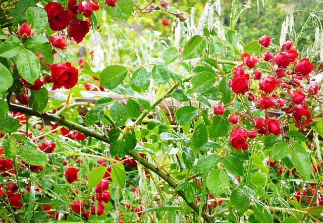 Rosas tras la lluvia