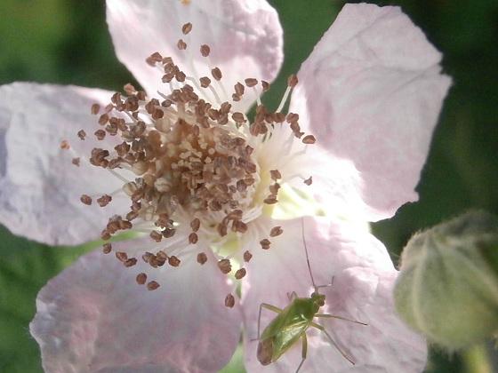 Lovely blackberry flower