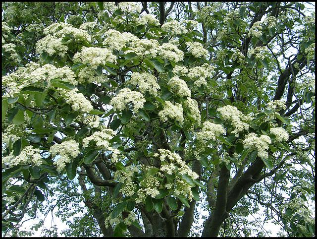 Manzil Way blossom