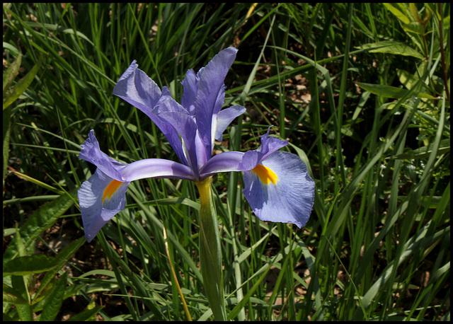 Iris de hollande