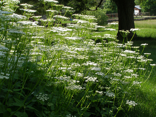 Ground Elder, or Goutweed