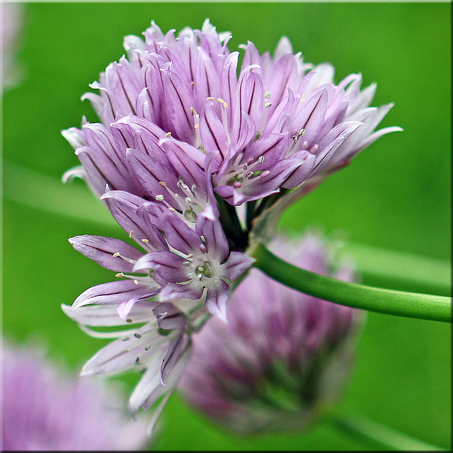 ~ Chive Flowers ~