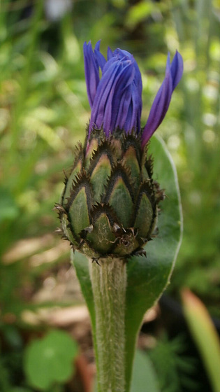 The cornflower looks like a thistle at this stage of development