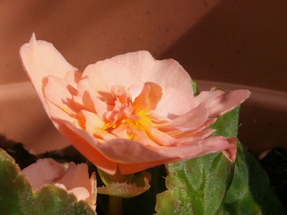 The peach coloured Begonia