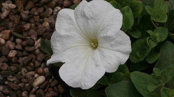 Pure white petunia