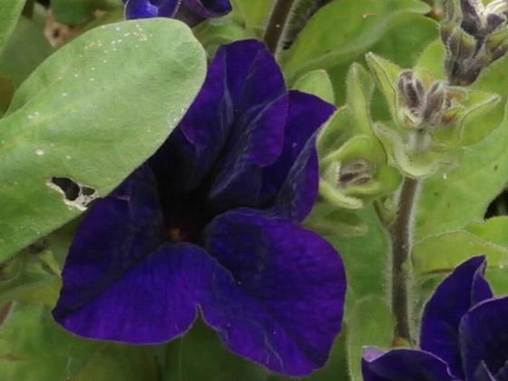 Lovely deep purple petunia [despite the colour here]