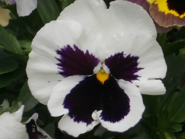 Yet more of these pansies