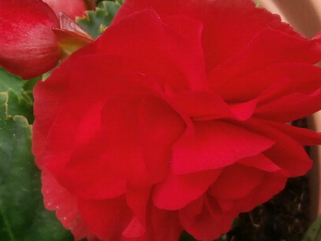 Deep red begonia