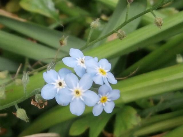 Forget-me-nots are everywhere