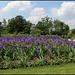 Champs d'iris bleus