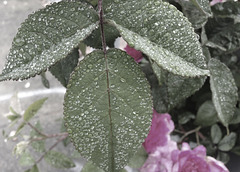 Leaf with raindrops