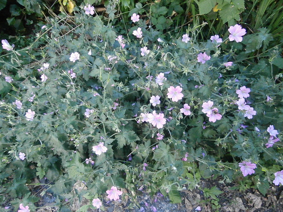 One of the many bunches of common mallow