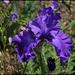 Iris bleu Cayeux