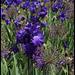 Iris bleu Cayeux (2)