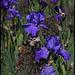 Iris bleu Cayeux (3)