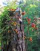 Crossvine Flowers