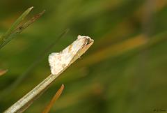 Aethes smeathmanniana