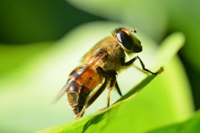 Happy Looking Bee!