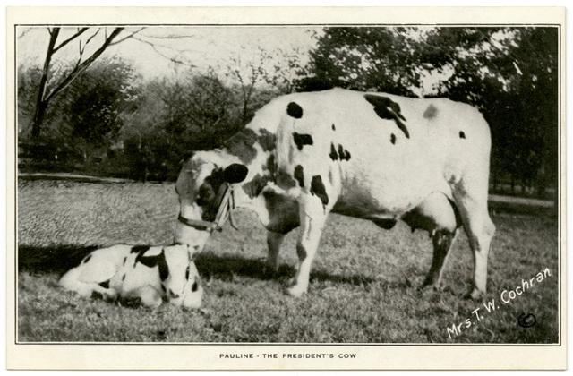 Pauline, the President's Cow