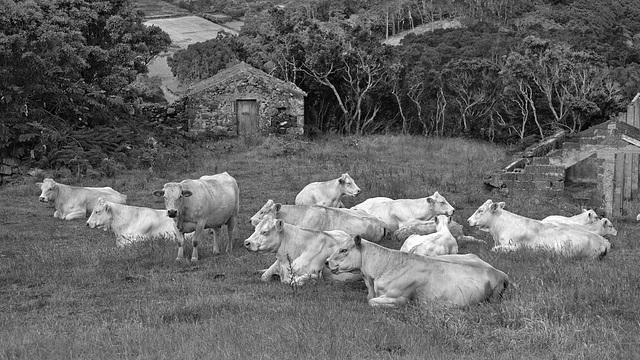 still_white_cows