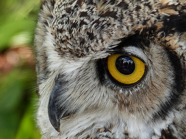 Reflected in the eye of an owl