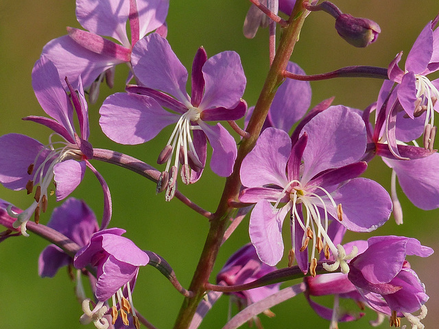 Fireweed - for a change of colour