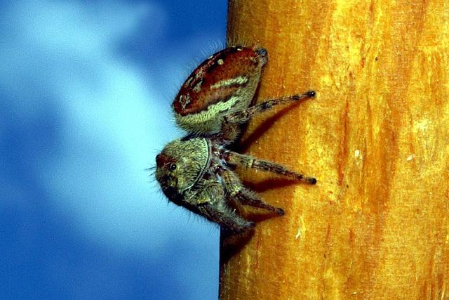 Jumping Spider - Phidippus clarus