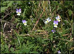 Viola tricolor subsp subalpina