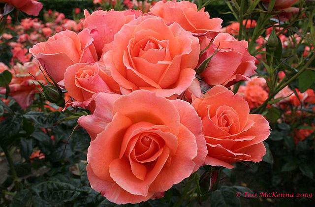 Roses 009 Explore copy