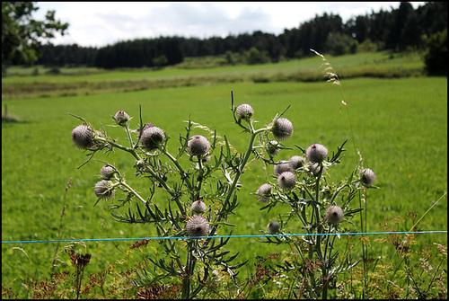 La ficelle bleue- Cirsium eriophorum