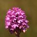 Pyramidal Orchid Anacamptis pyramidalis