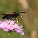 Six-spot Burnet Pollinator